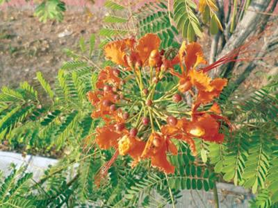 Flora de Sinaloa: El tabachín silvestre.