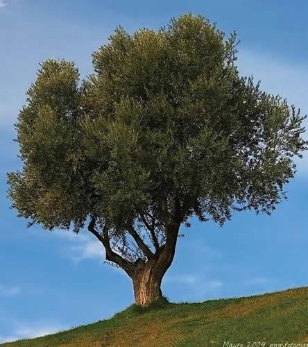 México y el olivo