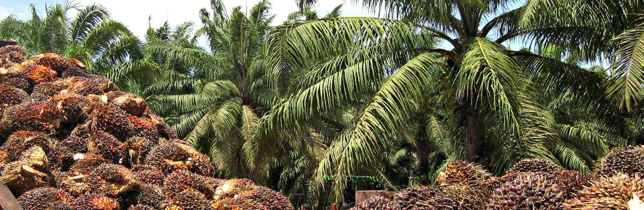 El cultivo de la palma de aceite
